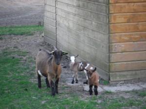 Jonge geitjes