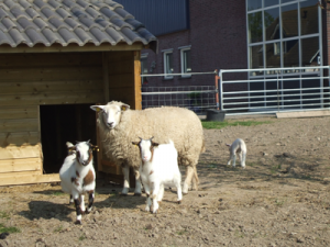 schapen