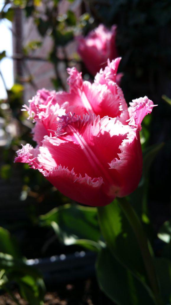 Opening Tulip Routes Dronten De Kandelaar